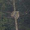 Raccoons #3.