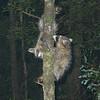 Raccoons #4.