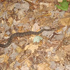 This big old water snake was on the Bald River trail.  We leave the Cascade camp and go downriver on the Bald River trail and run right into this pretty banded water snake. A copperhead-wannabe, it sobered me up for a minute or two. Shunka weaves and wobbles around it and we're on our way.