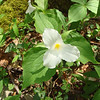 Another pretty trillium.