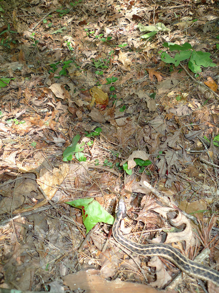 The long hot slog of Hickory Ridge comes to an end and I immediately cross Jacks River.  I decide to take a 1.2 mile detour to Jacks Falls and find a garter snake trying to eat a toad.  The snake had him and spit him out.