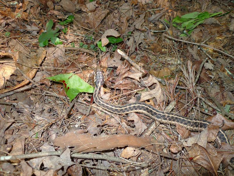 a better shot of the garter snake.