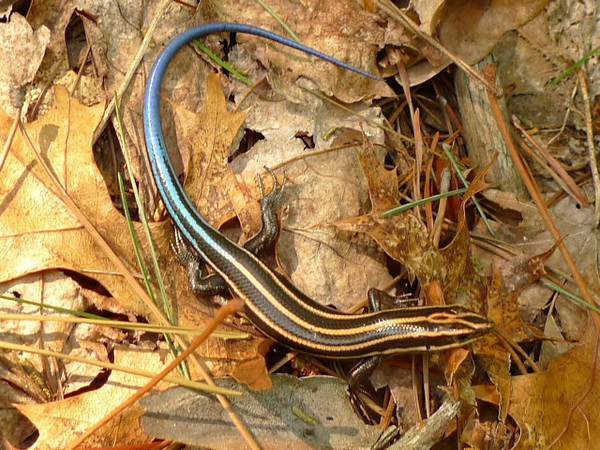 Then I spy a little skink lizard.