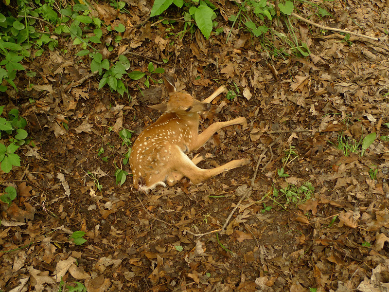 Crossing dirt road 672 I find an injured fawn by the side of the road---hit by a car and left.  I spend many minutes with it before reluctantly leaving.