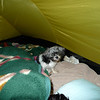 Little Zoe Dog likes sleeping in her new tent and next to Little Mitten.