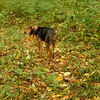 A hunting dog comes to visit and just as soon leaves.