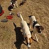 I leave Naked Ground and hike up to the Bob where I find these 4 hunting dogs and we all hang out together in the sun.
