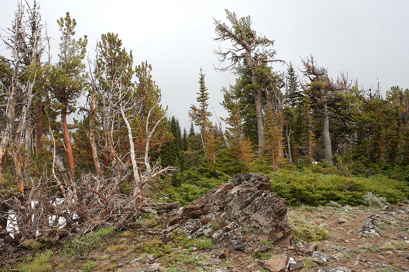 Wind-blown trees on a ridge at Clover Springs