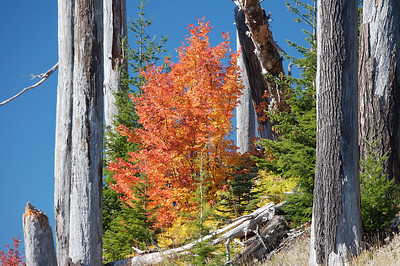 Fall color within a forest damaged by Mt St Helens