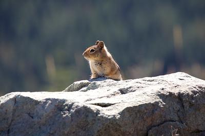 A friendly chipmunk at the Bear Meadows viewpoint near Mt St Helens