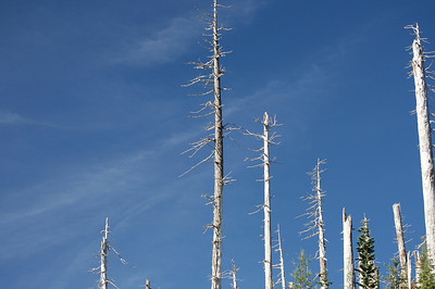 These trees were stripped bare or topped by the explosion of Mt St Helens in 1980.