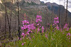 Fireweed on the way to Stanley Glacier.