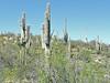 Carnegia gigantea (Between Phoenix and Flagstaff)