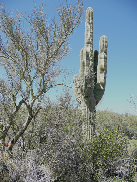 Carnegia gigantea (Between Phoenix and Flagstaff)