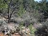 Opuntia spec. (South Rim of Grand Canyon)