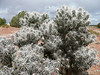 Cylindropuntia spec. (Canyon De Chelly National Monument)