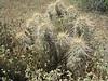 Echinocereus spec. (Between Phoenix and Flagstaff)
