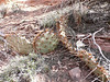 Opuntia spec. (Canyon De Chelly National Monument)
