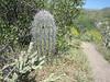 Carnegia gigantea and Cylindropuntia spec. (Between Phoenix and Flagstaff)