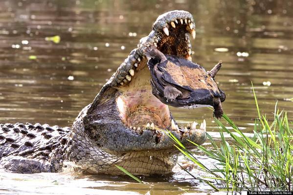 Terrapin Escapes Croc
