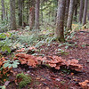 Mushrooms Along the Trail, Coos County, New Hampshire