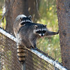 Backyard Racoons