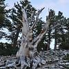 Bristle Cone Pine
