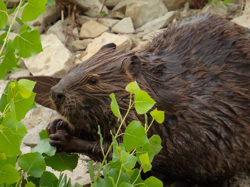 Launch Beaver