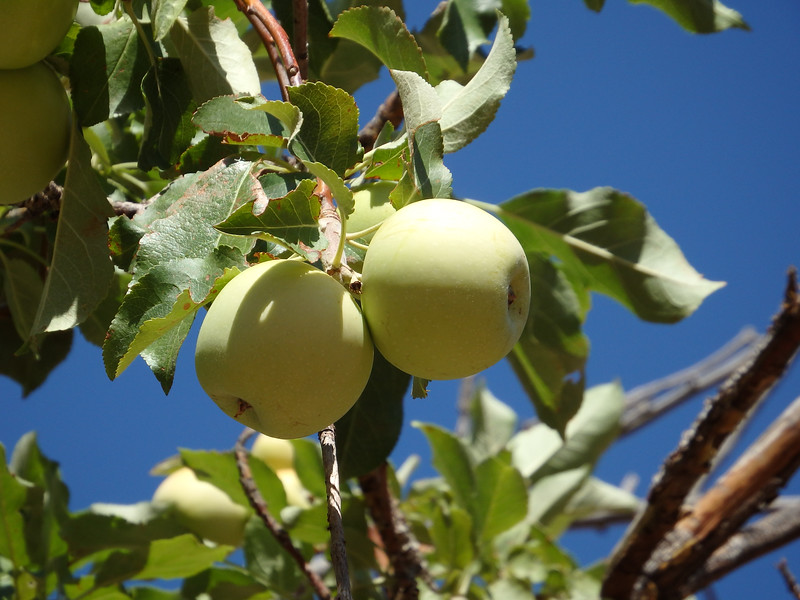 Apples in the Old Orchard