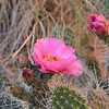 Blooming Prickley Pear Cactus
