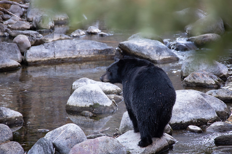 Black Bear Walking on Granite Rocks Across Taylor Creek in South Lake California