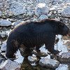 Black Bear Walking on Granite Rocks Across Taylor Creek in South Lake California