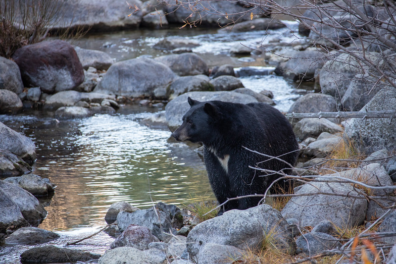 Black Bear with White Chest Markings Looking Across Taylor Creek