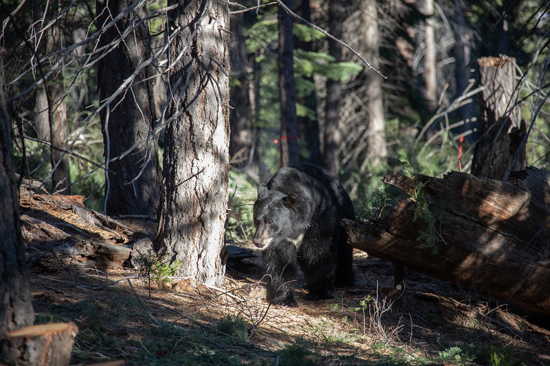 Big Black Bear in His Element, the Tahoe Forest