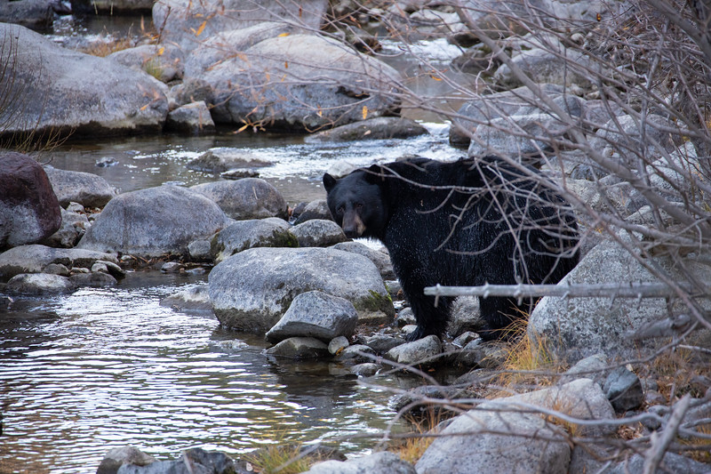 Black Bear with White Chest Markings Looking Downstream From Shoreline of Taylor Creek in South Lake Tahoe California
