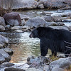 Black Bear with White Chest Markings Standing on Granite Rocks in Taylor Creek