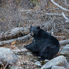 Big Fat Black Bear Lounging Along Shoreline of Taylor Creek Eating Kokanee Salmon