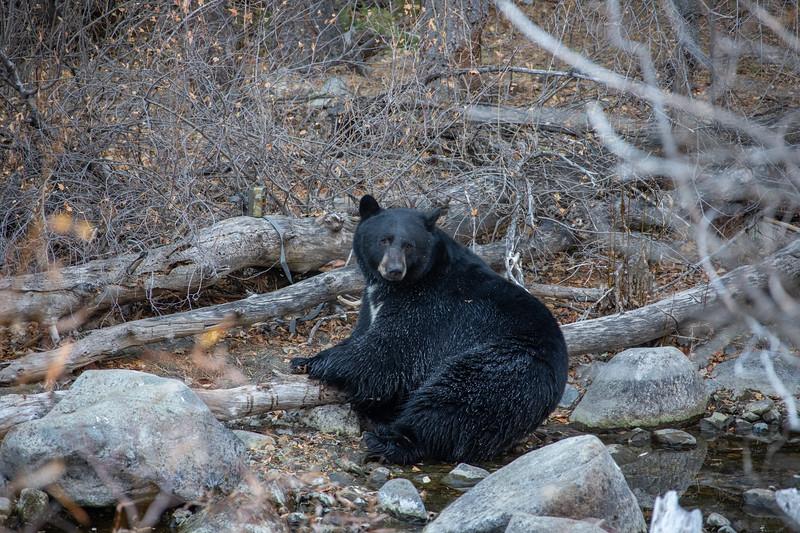Big Fat Black Bear Lounging Along Shoreline of Taylor Creek Eating Kokanee Salmon