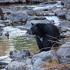 Black Bear with White Chest Markings Looking Across Taylor Creek with Mallard Duck in Background