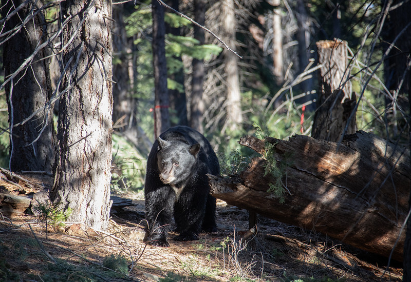 Black Bear with His Nose Checking Out the Forest