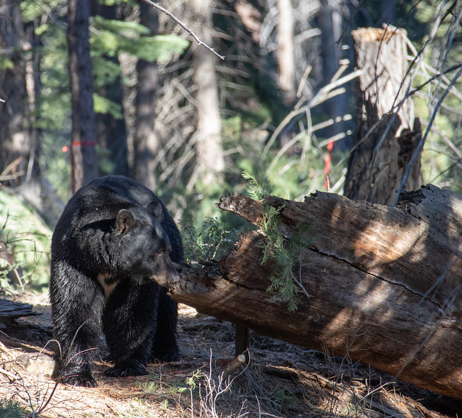 Black Bear Looking into an Old Dead Log