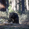 Big Black Bear Making His Way Through a Tahoe Forest