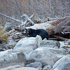 Black Bear Standing Among Light Colored Granite Boulders Along Taylor Creek in South Lake Tahoe California