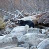 Black Bear Standing Among Light Colored Granite Boulders Along Taylor Creek in South Lake Tahoe California