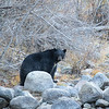 Black Bear with White Chest Markings Contrasting Against in Grey Aspens and Granite of Taylor Creek