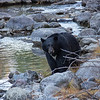 Black Bear Looking at Photographer From the Shoreline of Taylor Creek