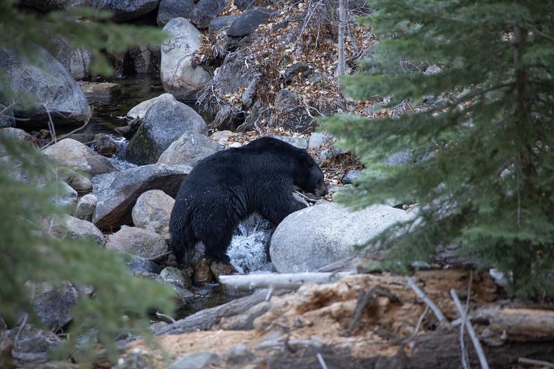 Black Bear Climbing Among Light Colored Granite Boulders Along Taylor Creek in South Lake Tahoe California