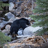 Black Bear Climbing Among Light Colored Granite Boulders Along Taylor Creek in South Lake Tahoe California