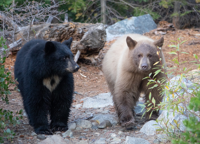 Black and Cinnamon Colored Bear Cubs