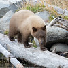 Cinnamon Colored Bear Cub